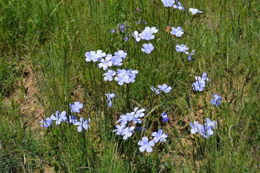 Lin des Alpes - Linum alpinum 1