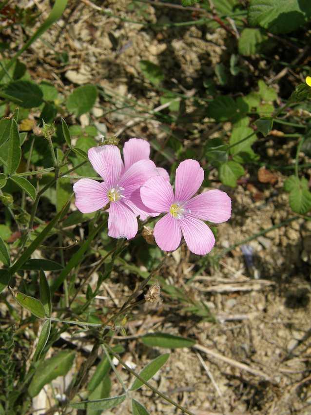 Lin rose visqueux - Linum viscosum