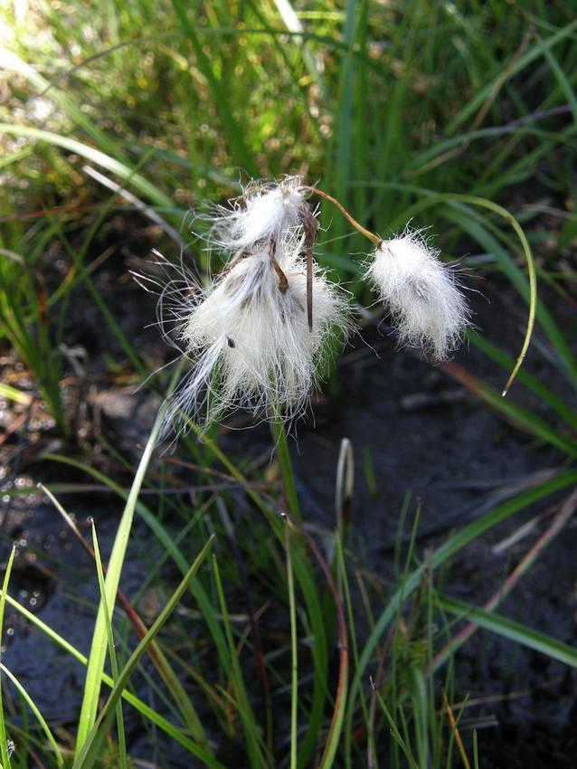 Linaigrette - Eriophorum