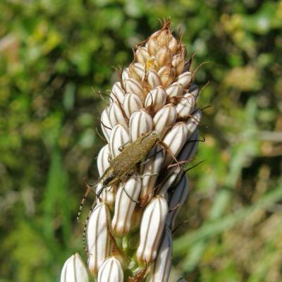 Longicorne Agapanthia villosoviridescens 1