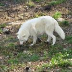 Loup blanc 2