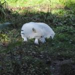 Loup blanc 3