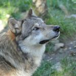 Loup gris 2