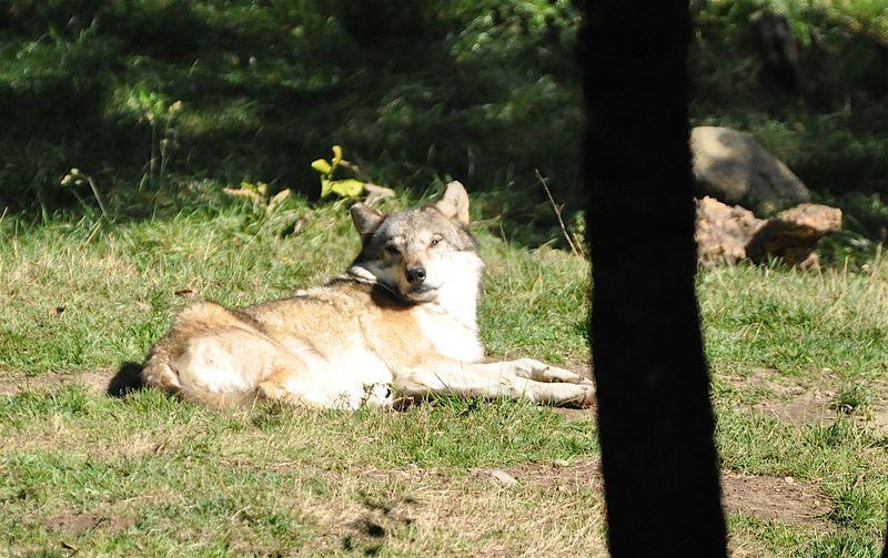 Loup gris 3