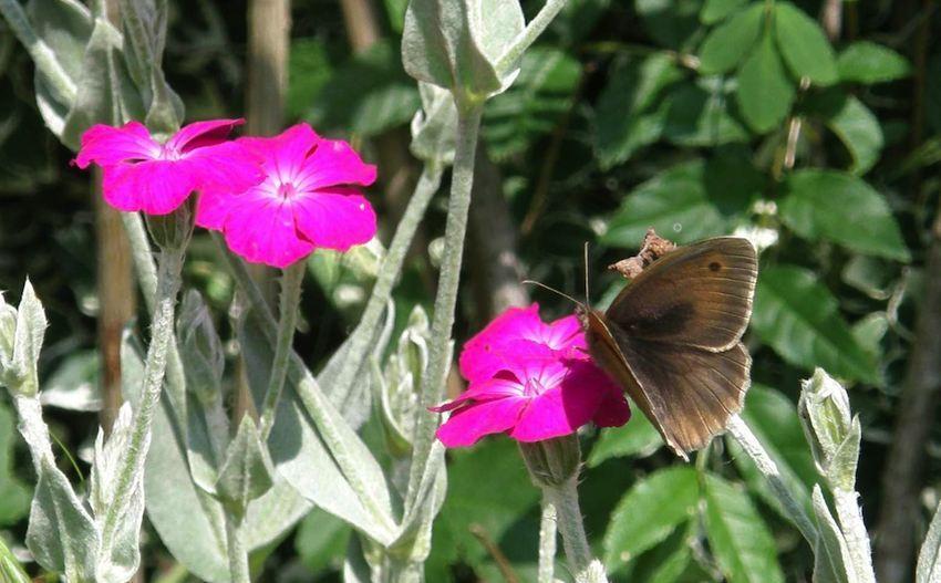 Lychnis et papillon - Lychnis coronaria