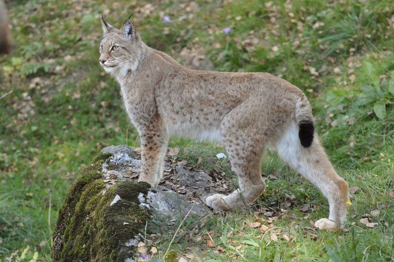 Lynx 6
