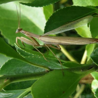 Mante religieuse brune - Mantis religiosa