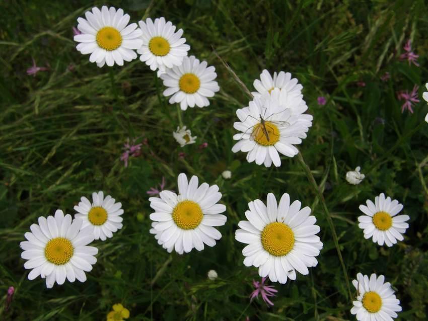 Marguerite commune - Leucanthenum vulgare