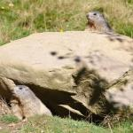 Marmotte 1