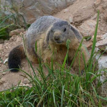 Marmotte des Pyrénées - Marmota marmota