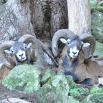 Mouflon 1