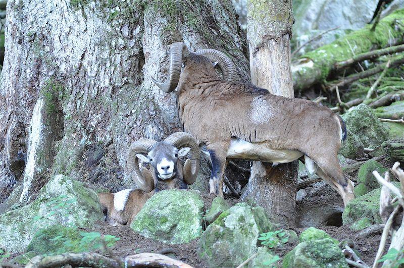Mouflon 2