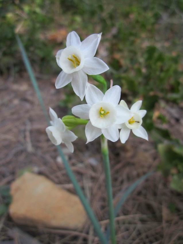 Narcissus tortifolius - Amaryllidaceae