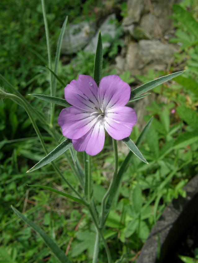 Nielle des blés 1 - Agrostemma githago