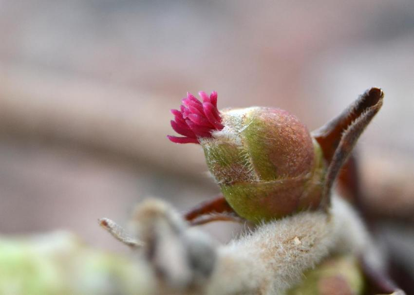 Noisetier - fleur femelle 3