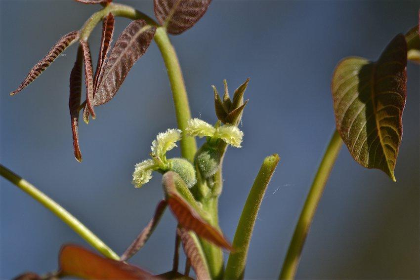 Noyer - fleurs 3