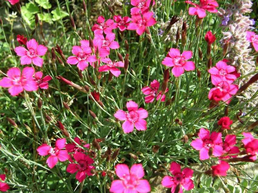 Oeillet delta - Dianthus deltoides