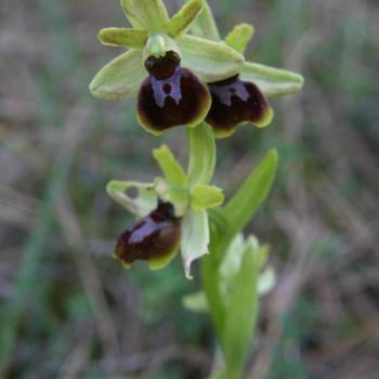 Ophrys araneola - Ophrys petite araignée