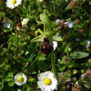 Ophrys sphegodes - Ophrys araignée 2