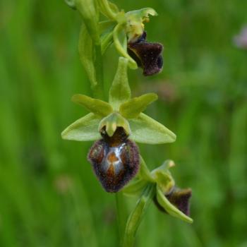 Ophrys virescens 6 - copie