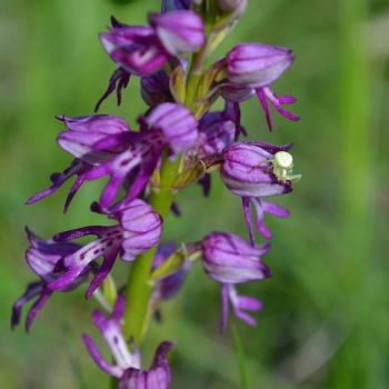 Orchis anthropophora x O.purpurea 4 - copie