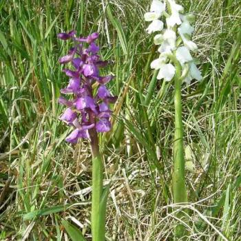 Orchis morio - Orchis bouffon