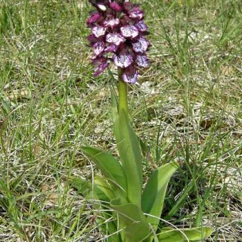 Orchis purpurea - Orchis pourpre 1