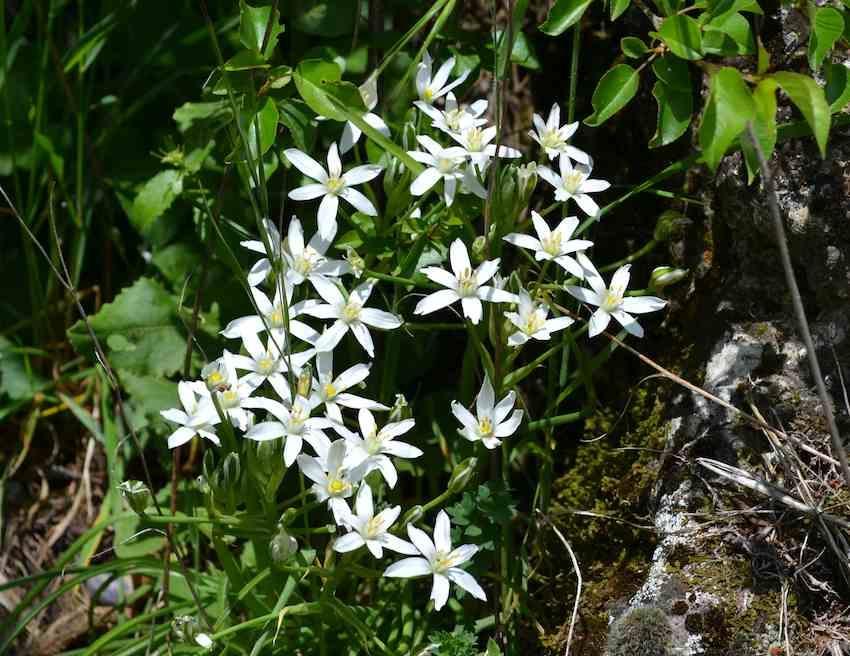 Ornithogale en ombelle - Ornithogalum umbellatum - Liliaceae
