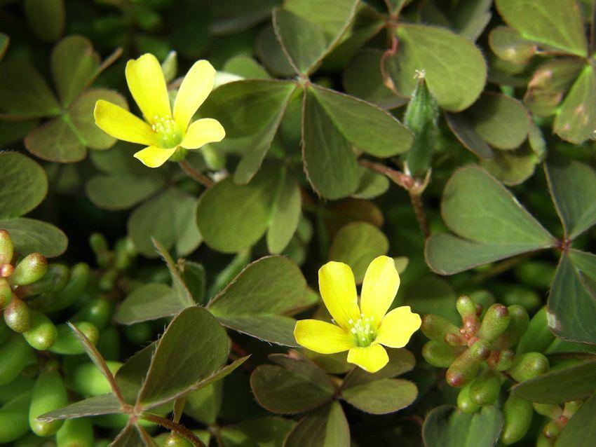 Oxalis corniculée - Oxalis corniculata