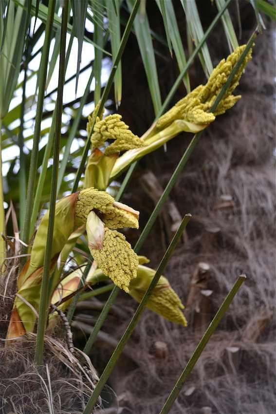 Palmier - fleurs