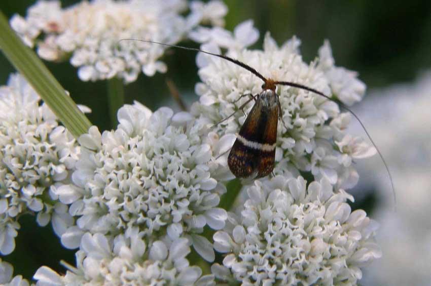 Papillon Adèle 1