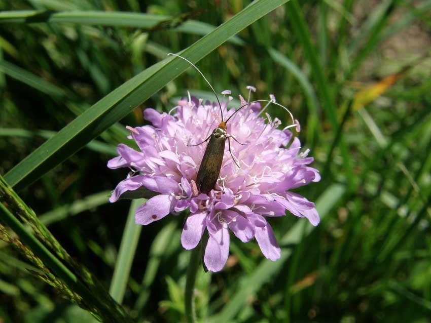 Papillon Adèle sur Scabieuse