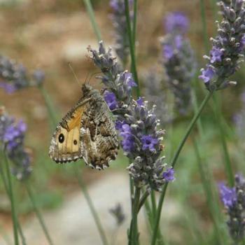 Papillon Agreste sur Lavande