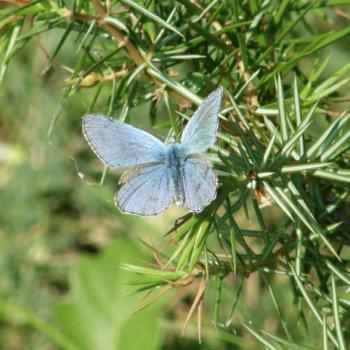 Papillon Argus bleu sur Genièvrre