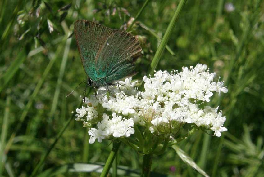 Papillon Argus vert sur Ombélifère 2