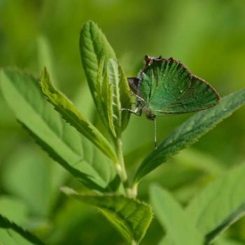 Papillon Argus vert