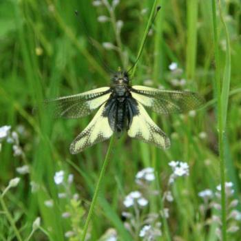 Papillon Ascalaphe soufré