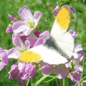 Papillon Aurore mâle (Anthocharis) sur Cardamine des prés