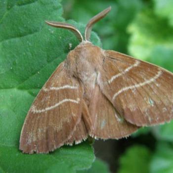 Papillon Bombyx de la ronce 1