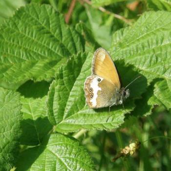 Papillon Céphale 1