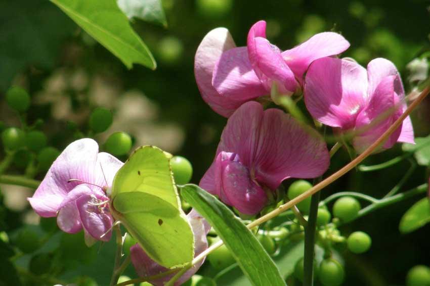 Papillon Citron 1