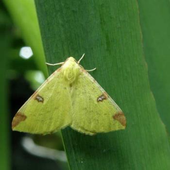 Papillon Citronelle rouillée - Opisthograptis