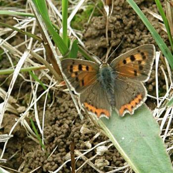 Papillon Cuivré 1
