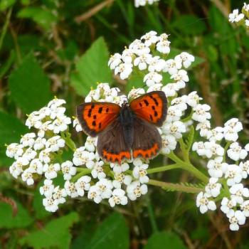 Papillon Cuivré commun - Lycaena phlaeas