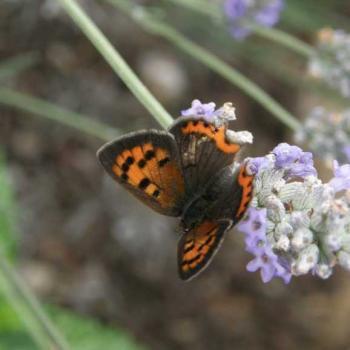 Papillon Cuivré sur Lavande 2