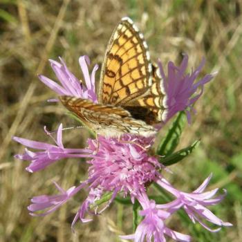 Papillon Damier des Prés 2