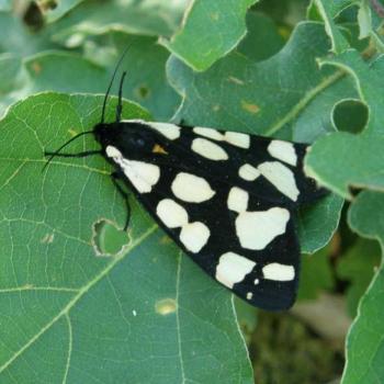 Papillon Ecaille chinée 1
