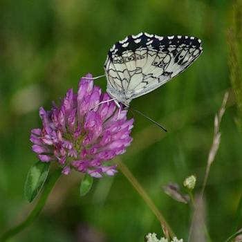 Papillon Echiquier - Melanargia 1