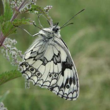 Papillon Echiquier- Melanargia 2