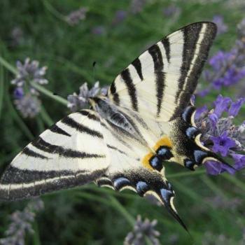 Papillon Flambé sur Lavande 2